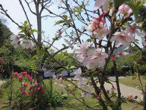 「桜の里・あさ陽の丘」のジュウガツザクラとシャクナゲ
