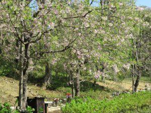 「樹林墓地」入口のシダレザクラ