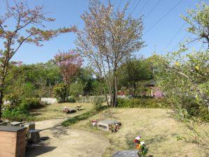 「樹林墓地・木立」のヤマザクラとヤエザクラ