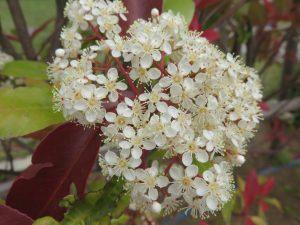 IMG_0002レッドロビンの花