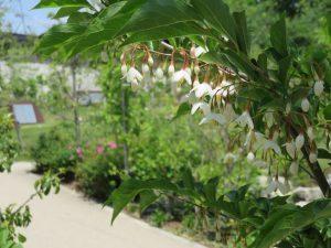 IMG_0025エゴノキの花と桜の里