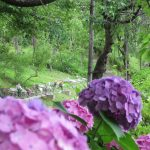 IMG_0328アジサイと樹林