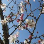 IMG_0008十月桜