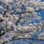 2019年1月~5月 桜葬の見学とミニ講座のお知らせ