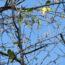ヒマラヤザクラが咲き始めました<2018/11/21>