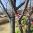 桜の開花状況<2019/03/05>