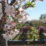 桜の開花状況<2019/04/16>