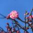 ウメとカワヅザクラが咲き始めました <2020/02/01>