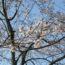 桜の開花状況<2020/03/21>