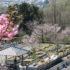 桜の開花状況<2020/03/24>