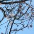 桜の開花状況<2020/03/15>