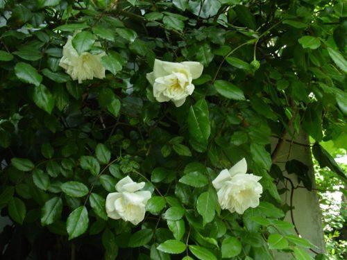 亡き人に手向けたい白薔薇