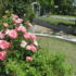 苑内のバラ<2020/05/16>