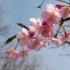 桜模様-2月27日